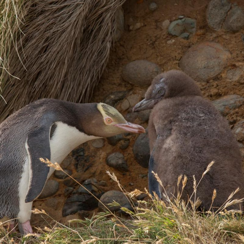 yellow-eyed-penguin-and-chick-1200